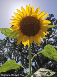 Our volunteer sunflower. (Photo by Ashley Jones, 2015)